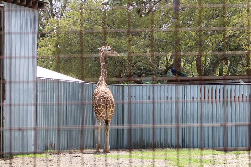 Jambo the giraffe