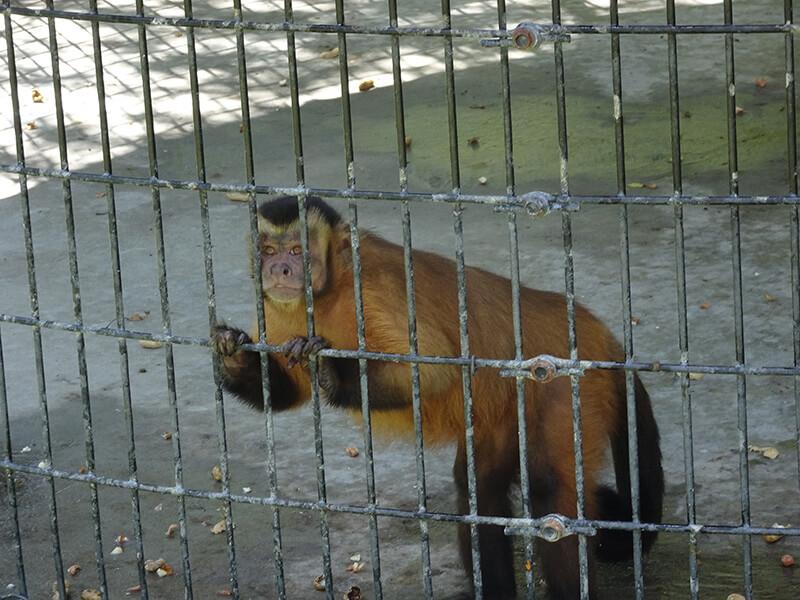 capuchin monkey at Tregembo Animal Park
