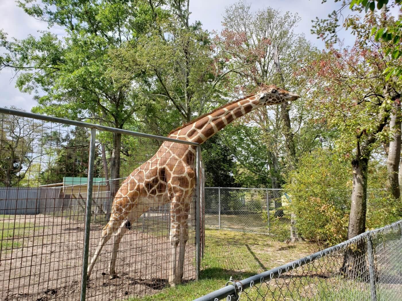 photo of giraffe at Tregembo