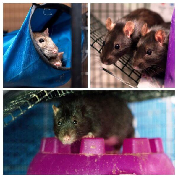 TeachKind Rescue Stories: Rescued Rats Find New Home | PETA