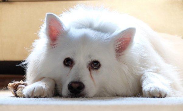 white dog, sad or neutral expression, american eskimo, featured