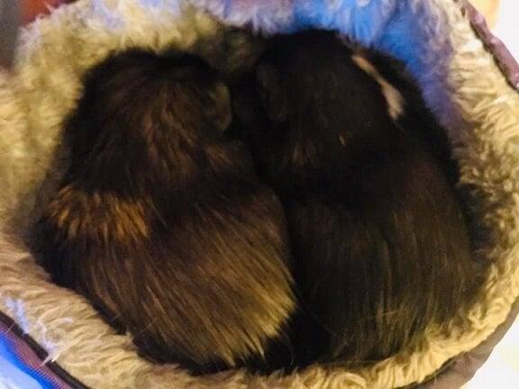 Are Guinea Pigs Good 'Starter Pets' for Kids? No  | PETA