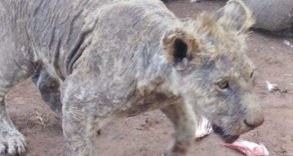 nspca investigation of big cat farm involved in cub petting, canned hunting, trophy hunting, bone trade, wildlife tourism