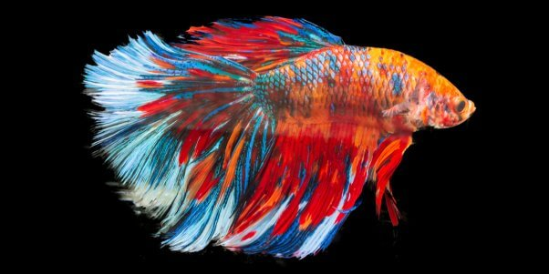 Image result for Betta fish