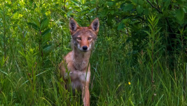Update: Mesa, Arizona, Homeowners Association Removes Cruel Coyote Traps!