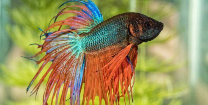 These Comments About Betta Fish in the Classroom Show Why They Should Never Be Used as Class 'Pets'