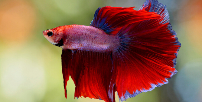 Betta Fish Q&A: Why These Animals Aren't 'Starter Pets'
