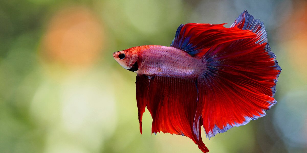 Betta Fish Facts And Why They Re Not Starter Pets Peta