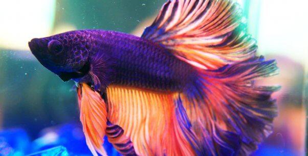 Blue and orange betta fish