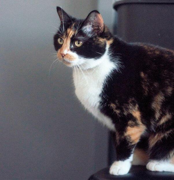 Beautiful cat who was abandoned outside PETA's office