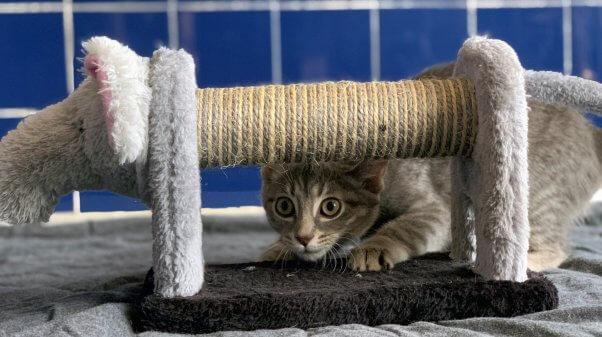PETA rescued kitten Eloise plays peek-a-boo wth scratching post