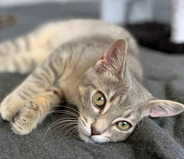 Pretty tabby kitten Eloise