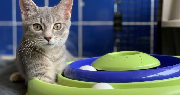 Eloise, a cat rescued by PETA, shows off her cool track toy.