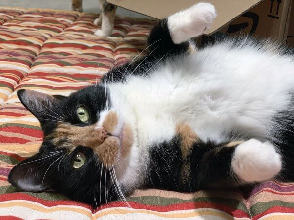 Playful calico cat lying on her back