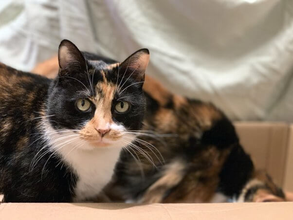 Two calico cats in box