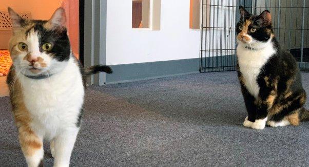 Two pretty calico cats at PETA headquarters