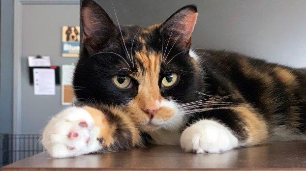 Cute calico cat lying on desk