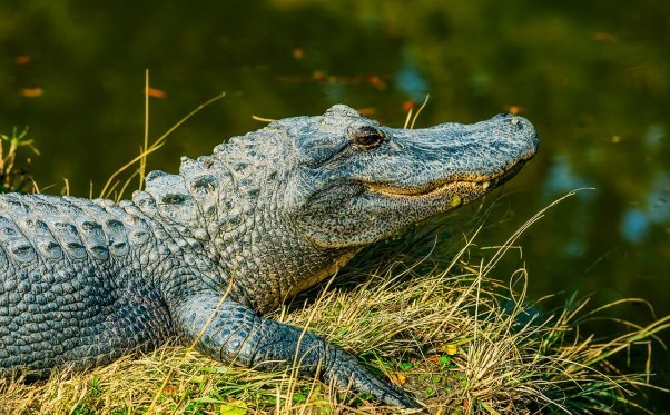 alligator, free, wild, happy, featured