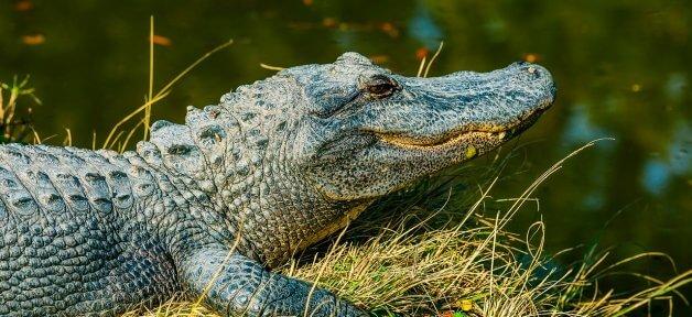 alligator, free, wild, happy, featured