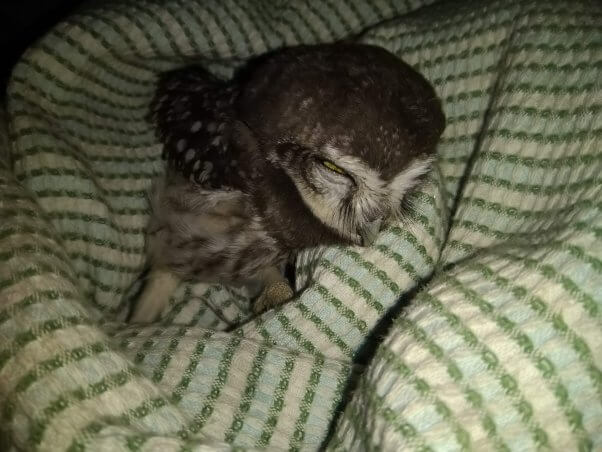 owl family rescues orphaned baby owlet