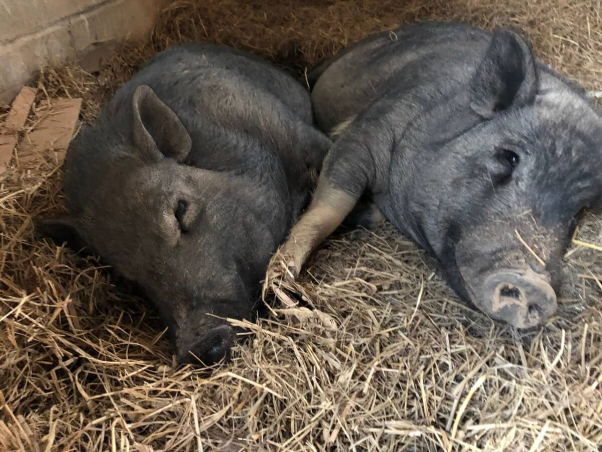 peta rescued pigs jack and ben, formerly named wilbur and babe