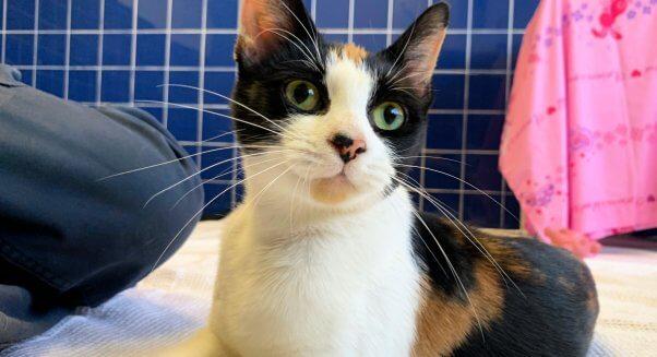 Pretty rescued cat Tango at PETA headquarters