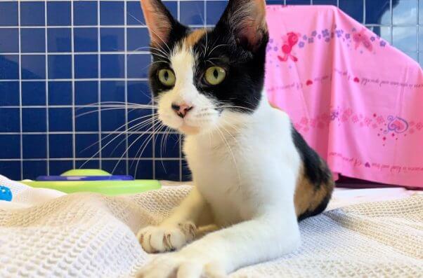 Beautiful rescued cat Tango at PETA headquarters