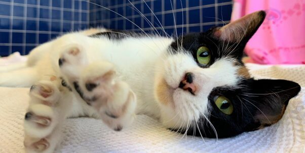 Rescued cat Tango stretches out a paw