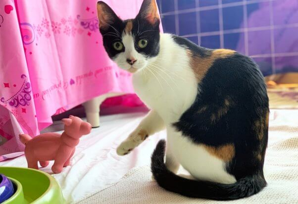 Rescued cat Tango plays with toy at PETA headquarters