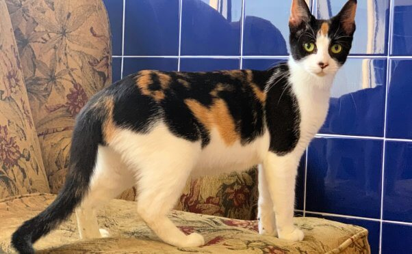 Pretty rescued cat Tango needs a forever home