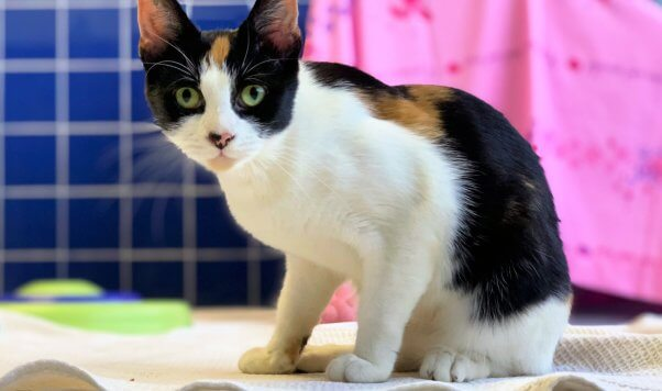 Tango, a cat rescued by PETA and available for adoption