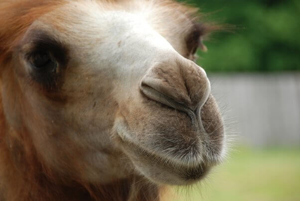 camel, sweet, pretty, colorful, featured
