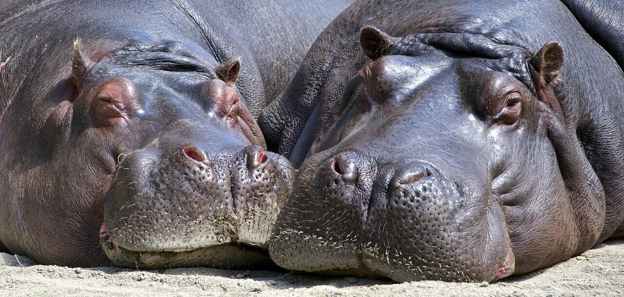 hippo couple, hippopotamuses, happy, featured