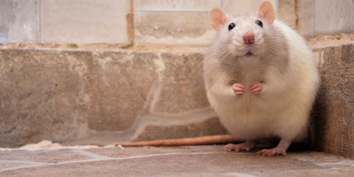 Aforable light-colored mouse standing in corner