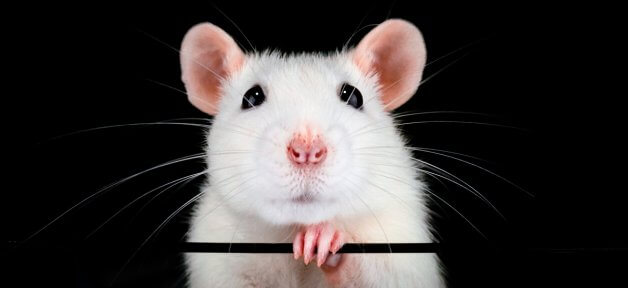 cute white rat looking into camera against black background