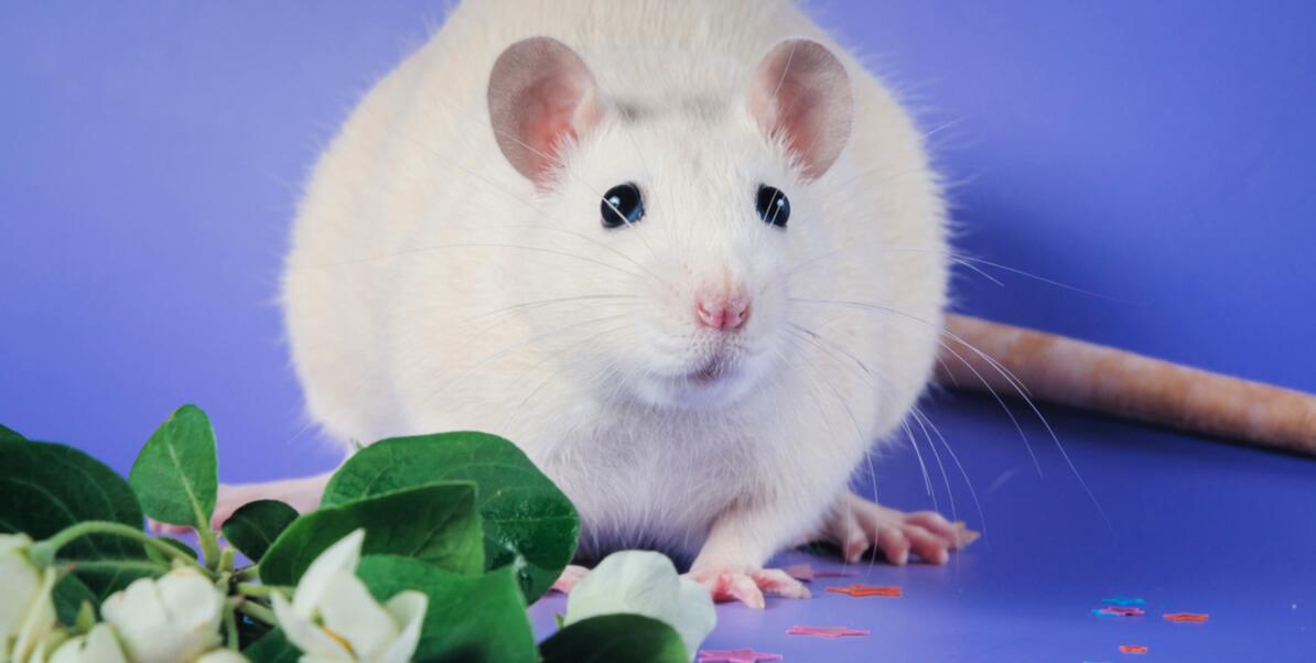 White rat against blue background