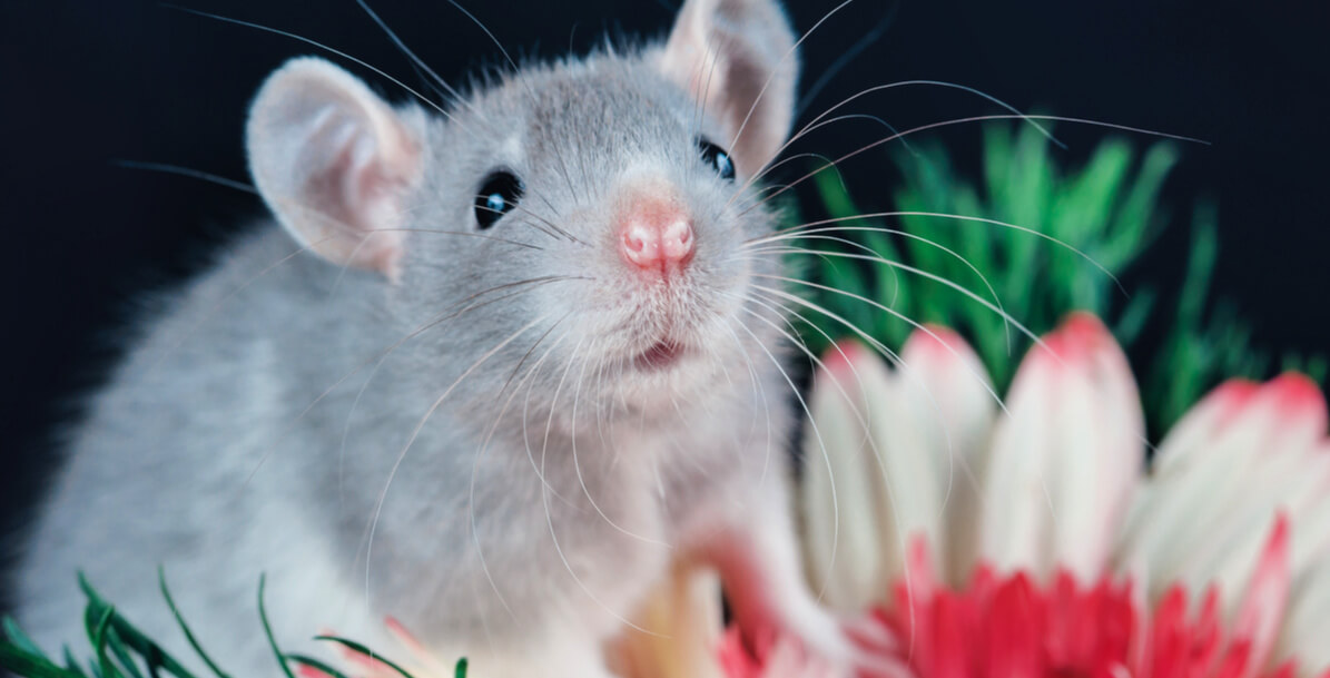 Sweet gray rat against black background with huge red and white flower behind him