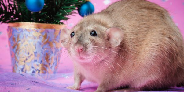 Pretty brown rat against pink backdrop with small Christmas tree