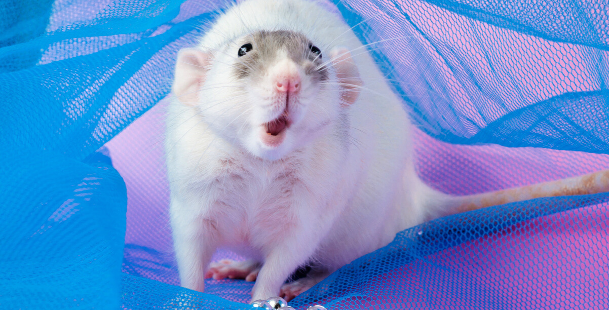 Cute white rat with open mouth