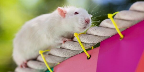 Cute white mouse on rope