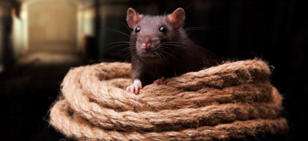 Black rat with coil of rope