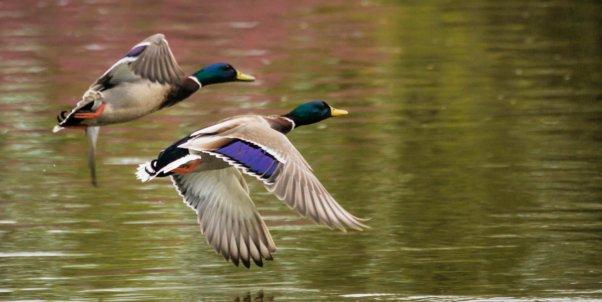 Two mallard ducks in flight