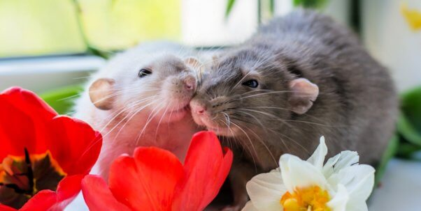 Cute rats nuzzling each other
