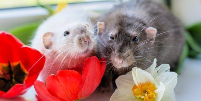 PETA Victory! Chocolatier Barry Callebaut Bans Tests on Animals