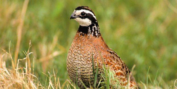 Bobwhite quail in the wild