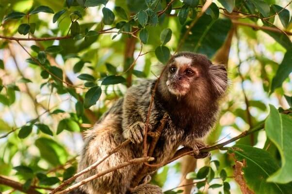 marmoset monkey, colorful, beautiful, featured
