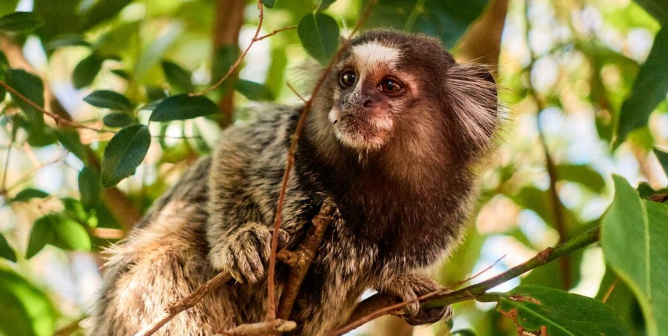 UMass Uses Hand Warmers on Marmosets to Mimic Menopause? This Isn't Science