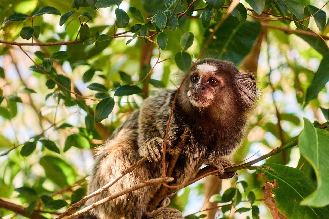 NIH Wants More Marmosets to Suffer Like This | PETA