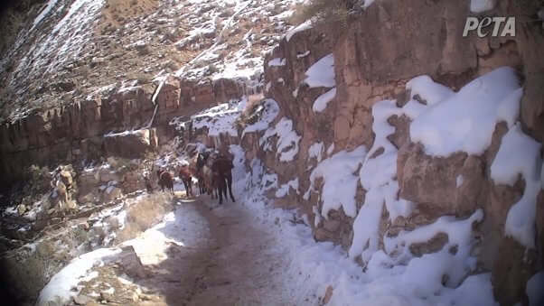 horses slipping up icy trails on the havasupai trail on the way to havasupai falls