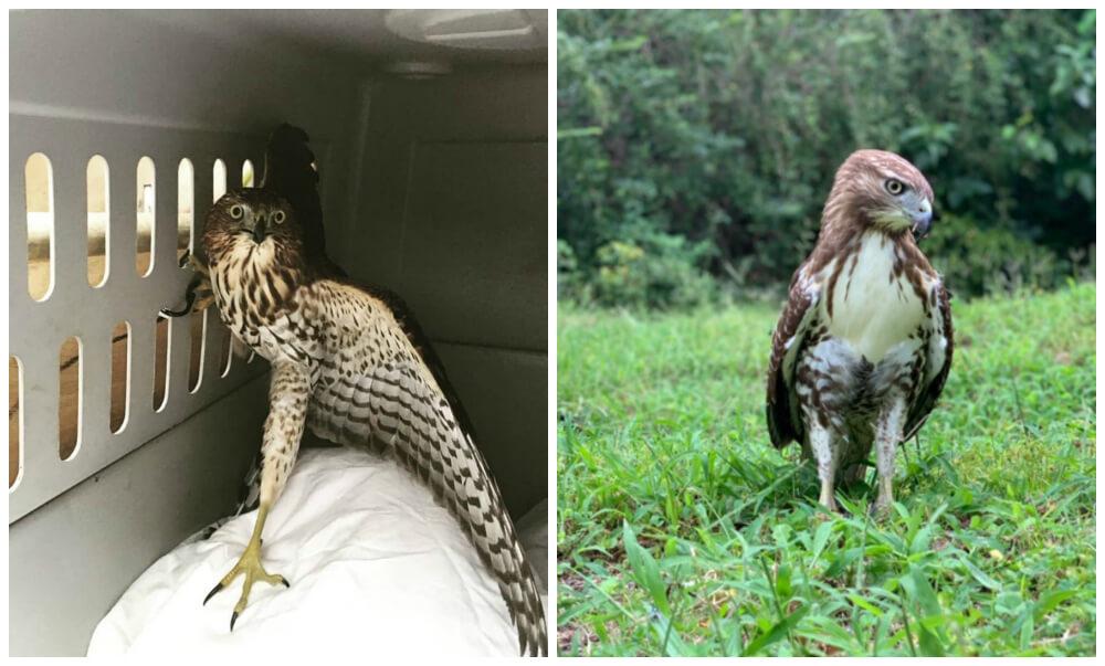 Animal Rescue Hawks